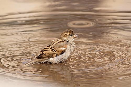 Sparrow's Bath