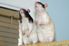 Brie and Lyric 022608 01 (KristyR929) Tags: pet rat explore rats