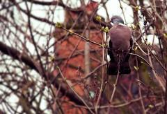 Wood Pigeon with Buds in NW London (Masakino Fuquini) Tags: winter bird london pigeon paloma londres february hampstead 2008     woodpigeon wildbird