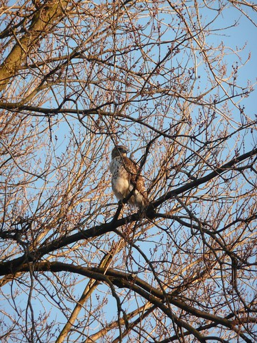 Hawk in Boston
