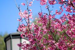 Spring is in the Air (olvwu | 莫方) Tags: morning pink blue usa flower macro closeup ga georgia cherry spring downtown lamppost cherryblossom sakura savannah 櫻花 春 春天 jungpangwu oliverwu oliverjpwu olvwu canonef100mmlens jungpang 莫方 吳榮邦