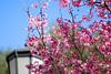 Spring is in the Air (olvwu   莫方) Tags: morning pink blue usa flower macro closeup ga georgia cherry spring downtown lamppost cherryblossom sakura savannah 櫻花 春 春天 jungpangwu oliverwu oliverjpwu olvwu canonef100mmlens jungpang 莫方 吳榮邦