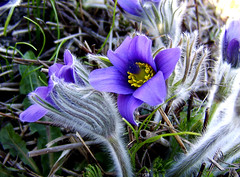 Anemone pulsatilla (Colour my world !) Tags: flower spring helsinki purple botanicgarden picturesque naturesfinest backsippa anemonepulsatilla fineartphotos tarhakylmnkukka diamondclassphotographer colourartaward theperfectphotographer goldstaraward qualitypixels