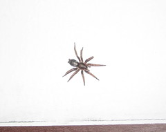 Parson spider on my wall (littlemiao) Tags: minnesota spider spiders myapartment parson creepycrawlies parsonspider shelobslair therabbitburrow