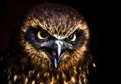 Look Into My Eyes, I Will Turn You To Stone (left-hand) Tags: bird dark scary eyes beak feathers evil talk owl laugh falconry gauntlet birdwatcher littleowl animaladdiction specanimal mywinners superbmasterpiece mullandcornishchoochoo