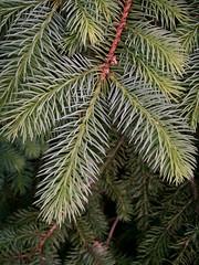 Illinois Evergreen, Spring (cobalt123) Tags: new macro green nature leaves composition illinois spring fresh evergreen greens fir needles goinggreen