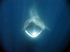 Basking Shark (riordan_david) Tags: ireland irish nature shark marine snorkel wildlife diving watcher basking baskingshark cetorhinusmaximus irishwildlife corkaquatic