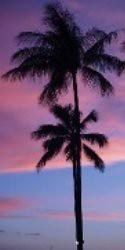 maui palmtree
