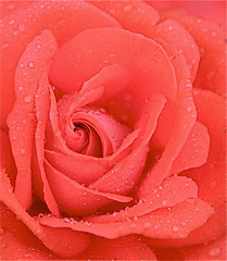 After The Tornado (Baab1) Tags: flowers roses nature nikon maryland raindrops macros d300 southernmaryland naturesfinest calvertcountymaryland abigfave anawesomeshot colourartaward huntingtownmaryland ilovemypics natureselegantshots mimamorflowers flickrbestpics awesomeblossoms nikonflickraward