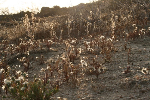 backlit thistles, dawn in the desert