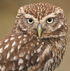 Little owl (Athene noctua) (nutmeg66) Tags: bird fauna lincolnshire owl 2008 canonpowershot littleowl athenenoctua lincolnshireshow specanimal a640 avianexcellence