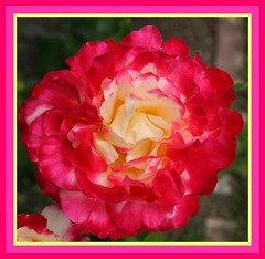 My Double Delight, Hybrid Tea Rose (Lynn English) Tags: macro garden masterphotographer doubledelight naturesfinest fantasticflower fineartphotos raregems flickrbronzeaward theboldflower macroawards flickrsfantasticflowers wonderfulworldofmacro digitalphotographygalleryexclusives
