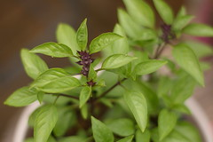 Thai basil (i think)