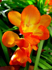 Flowers (youneverknowphotography) Tags: flowers red orange green yard sweet smell