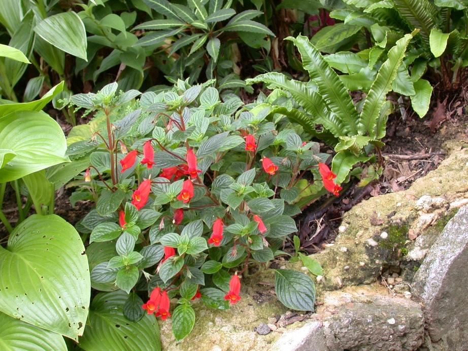Seemannia nematanthodes 2