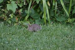 IMG_3487 (Blackavar Lion) Tags: rabbit bunny conejo coelho  lapin watershipdown kaninchen    canonrebelxti  2be2176f59cfac7c3f99b44a73b29c9b