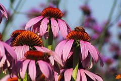 Flowers (cappyw) Tags: pink flowers orange flower macro green petals pretty purple echinacea july bee bloom coneflower honeybee grouping ligonierpa