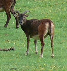 Soay sheep. (B4bees .(2m views)) Tags: original brown sheep fife flock perthshire primitive soay glenartney olympuse510 brianforbes couriercountry