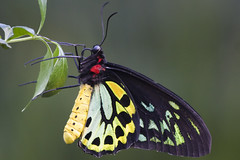 Cairns Birdwing (WilliamBullimore) Tags: animal animals butterfly zoo australia melbourne victoria melbournezoo cairns birdwing cairnsbirdwing digitalcameraclub platinumphoto bestofbestnature ornithopteraeuphorion superstarthebest