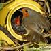 Robin feeding young Common Cuckoo