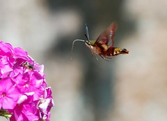 Hummingbird Clearwing Moth (ToddP99z) Tags: macro nature closeup insect ma flying estate massachusetts moth lincoln codman italiangarden hummingbirdclearwingmoth top2020 codmanestate top20flowerswithbugs