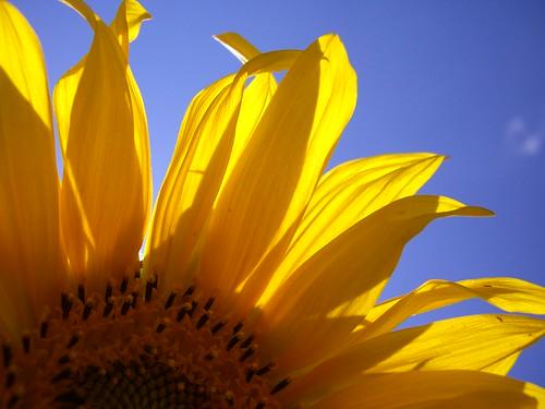 sunflower by mertcem