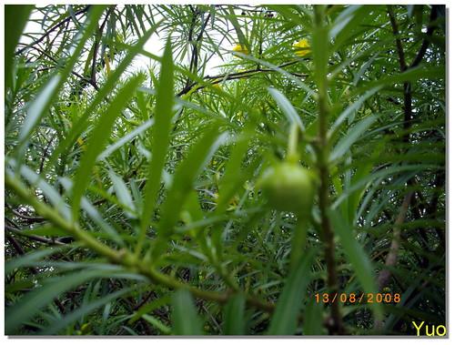 黃花夾竹桃