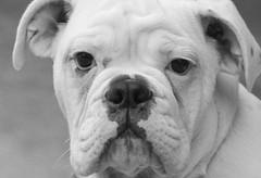 Puppy Face (Yer Photo Xpression) Tags: dog puppy blackwhite otis englishbulldog soe dogexpressions supershot canonef135mmf2lusm mywinners mywinner abigfave impressedbeauty impressedbyyourbeauty isawyoufirst canoneos40d heartawards ohthatsgood adorablecritters ronmayhew goldstaraward fdogs theloveofourpets bestflickrphotography