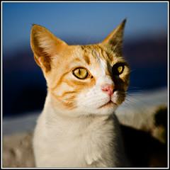 00194-Santorini-Oia-a (alessandro.ravizza) Tags: cats animals cat santorini greece grecia gatto gatti animali santorinicats gattidisantorini