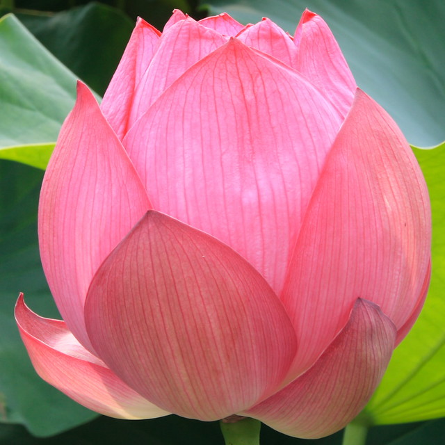 lotus bud like a peach