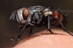 tachinid fly on my finger (Mundo Poco) Tags: macro canon insect fly rebelxt eos350d tachinid diptera mpe65mm