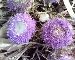 Tifaghwine  (Jamal Elkhalladi) Tags: nature morocco maroc milli flore  hassi   berkane   triffa   tifaghwine