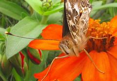 Did I surprise him?? (vzonabaxter) Tags: macro face canon butterfly zinnia digitalcameraclub colourartaward fuzzyorange beautifulmonsters