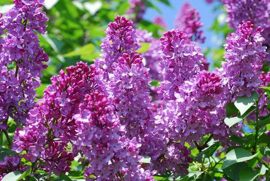 Kết quả hình ảnh cho hoa tử đinh hương