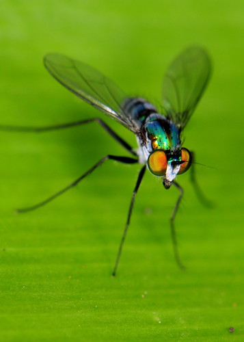 Colourful long-legged fly