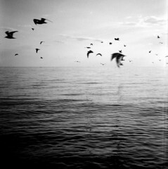 Point Pelee (magical_pig) Tags: sky blackandwhite seagulls film nature water birds clouds flying nationalpark flock diana windsor leamington dianaf pointpelee plasticcamera