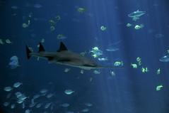 Sawfish (ScottS101) Tags: atlanta fish georgia aquarium shark georgiaaquarium whaleshark captive captivity aquaria