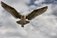 hovering gull (Daryl's World TTL) Tags: