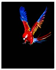 Night Landing (Alfredo11) Tags: blue red naturaleza black bird nature colors yellow azul fly rojo colours background negro beak violet parrot colores movimiento amarillo ave pico capture tones fondo loro violeta papagayo pjaro guacamaya plumage captura volar tonos plumaje motin corvuspica