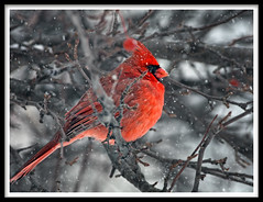 Northern Cardinal (Tony Tanoury) Tags: red wild tree bird nature animal closeup fauna bill cardinal michigan wildlife beak feather crest perch ornithology birdwatching avian cardinaliscardinalis northerncardinal malenortherncardinal supershot bej mywinners abigfave worldbest anawesomeshot platinumheartaward goldstaraward ourmasterpieces rubyphotographer thewonderfulworldofbirds