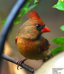 Northern Cardinal (Cardinalis cardinalis) female (Carolinensis) Tags: nature birds female aves 1001nights cardinaliscardinalis birdwatcher yardbird northerncardinal naturesfinest nikkor80400mmvr allrightsreserved feederbirds birdphotos nikond80 platinumphoto southcarolinabirds naturescreations doodoodoolookinoutmyfrontdoor