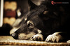 IMG_3720 (Tail Chaser Photography) Tags: buddy wolfhybrid petphotography canoneos5d canonef70200mmf28l
