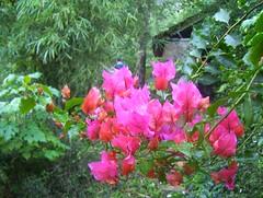 Flowers at Honey Valley homestay (hnprashanth) Tags: flowers madikeri honeyvalley honeyflowers