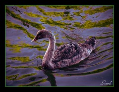 Goose (Serlunar (tks for 5.0 million views)) Tags: flickr do goose fotos premiadas theunforgettablepictures serlunar solofotos