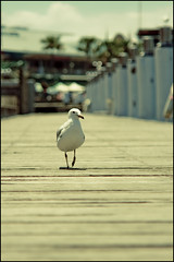 The gentlegull (manlio_k) Tags: wood bird animal vintage walking dof action bokeh path seagull sydney darlingharbour moment gentle manlio castagna manliocastagna manliok
