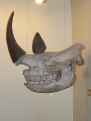 Booth Museum Rhino Skull
