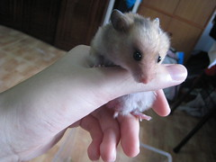 IMG_1750 ([bakaWOOFY]) Tags: hamsters