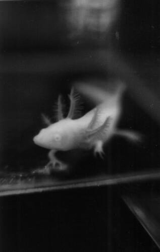 Ahora soy un axolotl