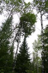 Towering Aspens (Steve Grimmer) Tags: forest boreal sandilands