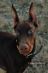 Campary (Liisaz88) Tags: land dobermann flox campary legrant
